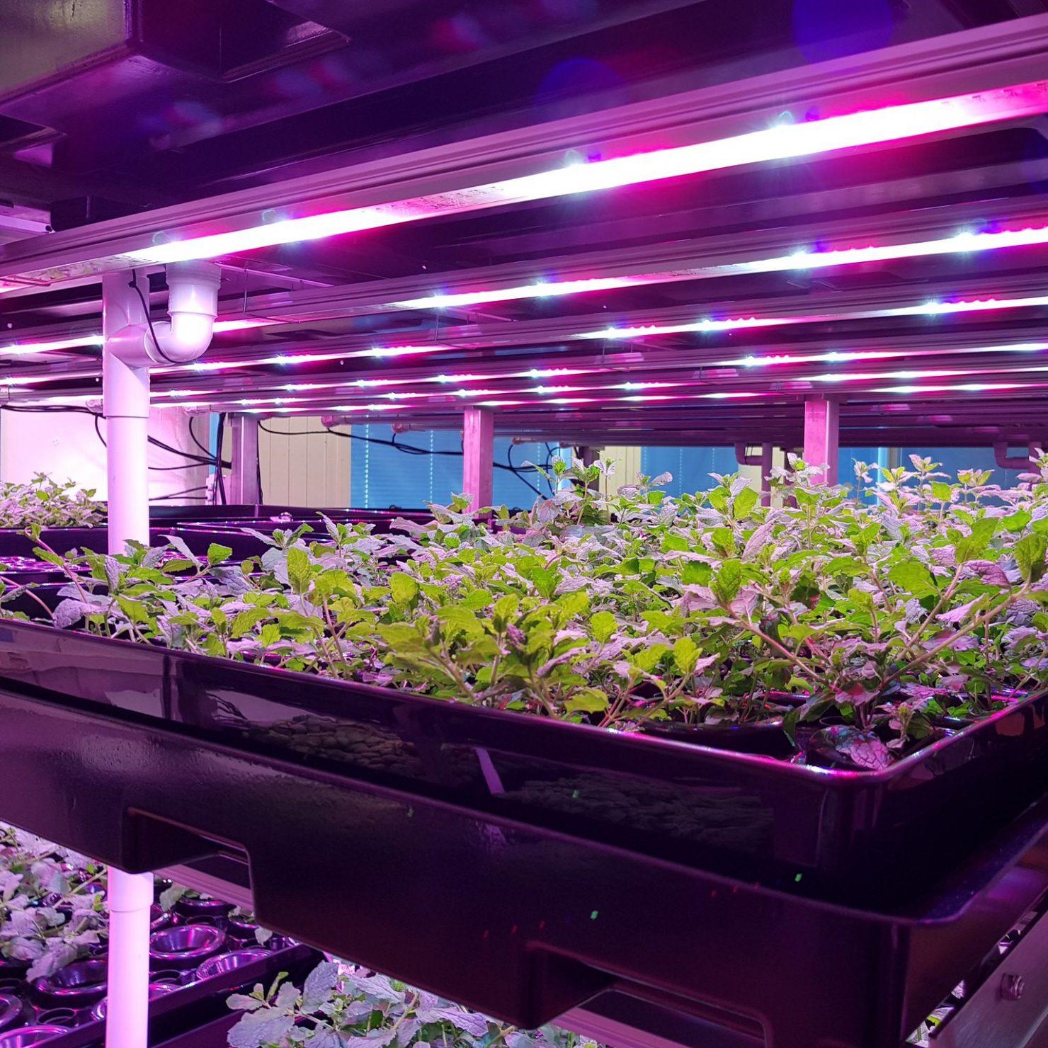 LEDで野菜を栽培する植物工場とは? 成長の仕組みと効率的な生産方法