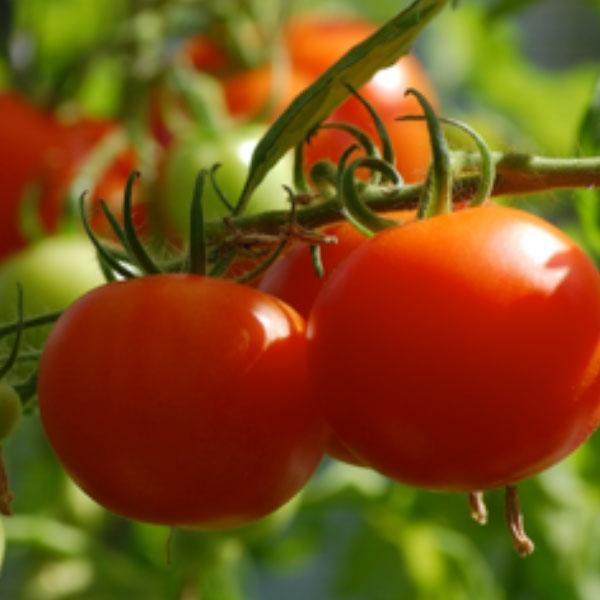 トマト栽培で起こり得る高温障害とは? 収穫量を安定させるための対策