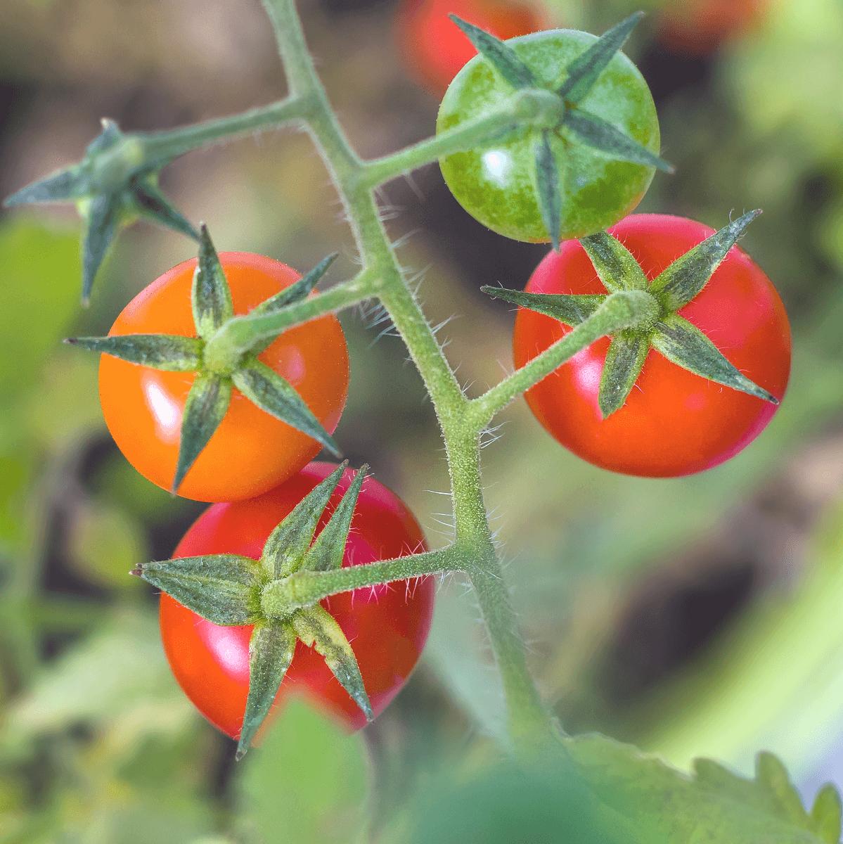 トマトをオオタバコガの被害から守るには?見分け方と駆除方法を解説