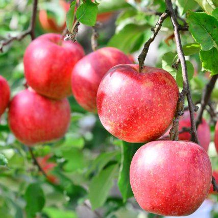 新芽の吹き出し違う 青森県のリンゴ農家も満足