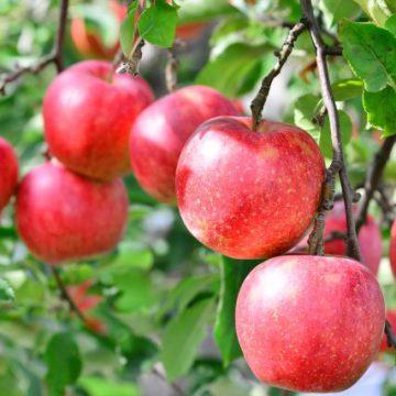 新芽の吹き出し違う|青森県のリンゴ農家も満足