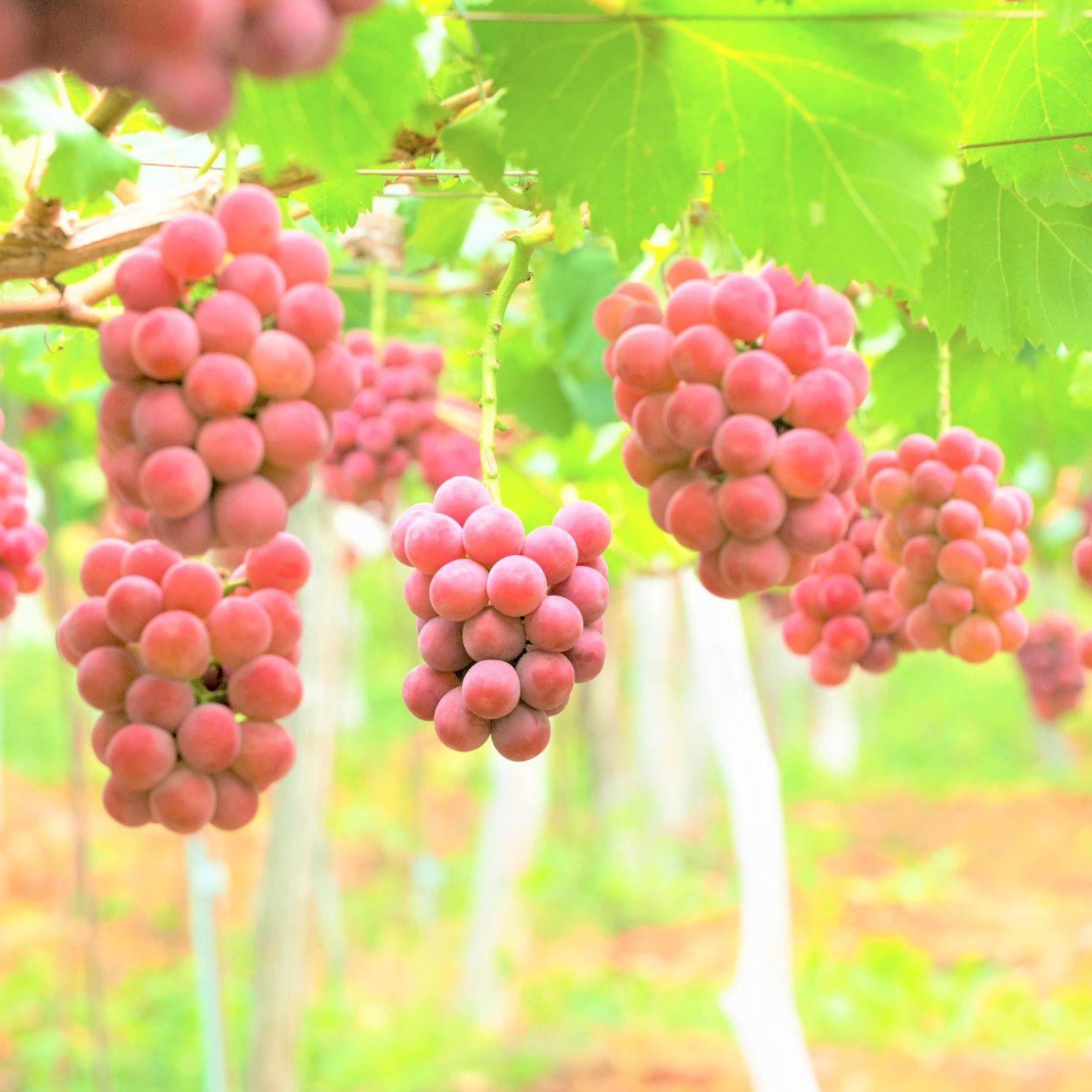 ぶどう栽培における最適な肥料とは
