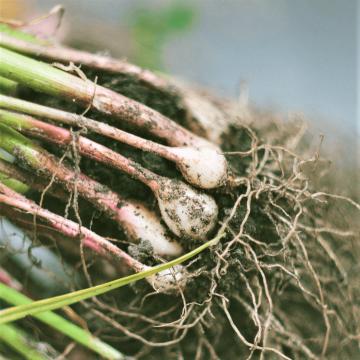 アーバスキュラー菌根菌とは?リン酸供給の働きと籾殻による活用法