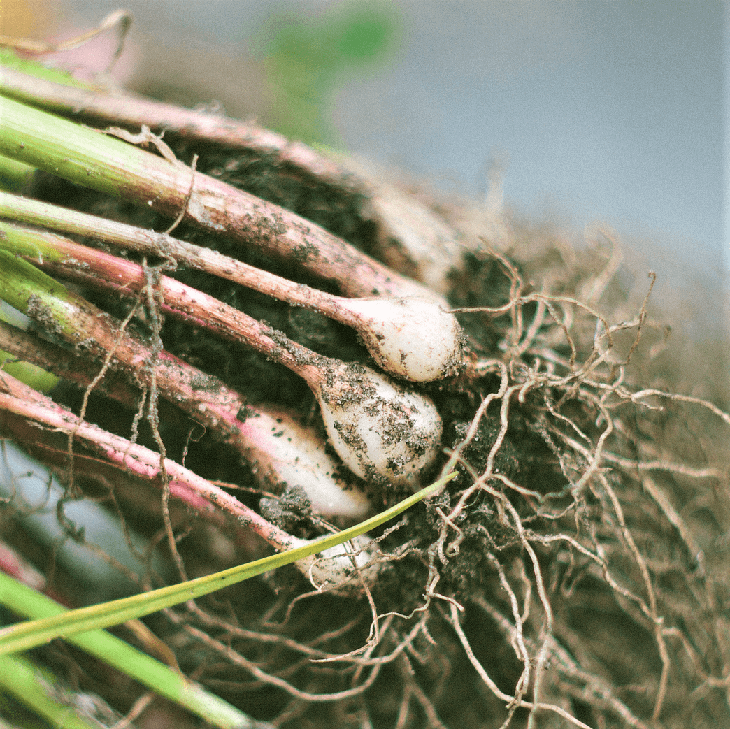 アーバスキュラー菌根菌と籾殻燻炭の有効利用について