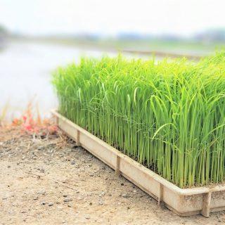水稲育苗とは?苗の種類や育苗の手順を解説