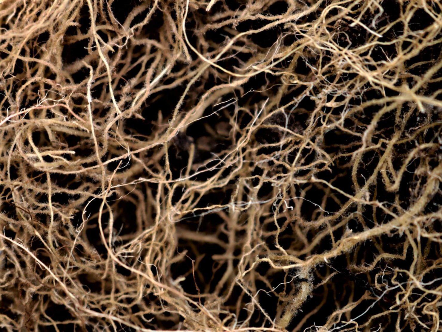 キャンディダパラプシローシス生菌製剤イメージ